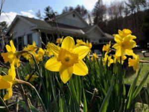 May 5 Daffodils